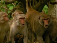 Image de Primates des Caraïbes