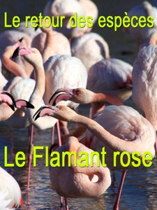 Le retour des espèces - Le Flamant rose